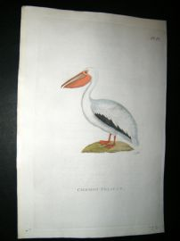 Shaw C1800's Antique Hand Col Bird Print. Common Pelican